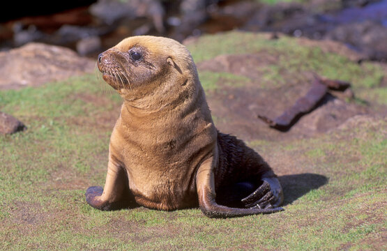 Hooker sealion on the sub-antarctic island of Enderby south of New Zealand.