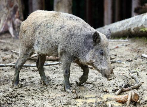 Wild boar, sus scrofa in forest