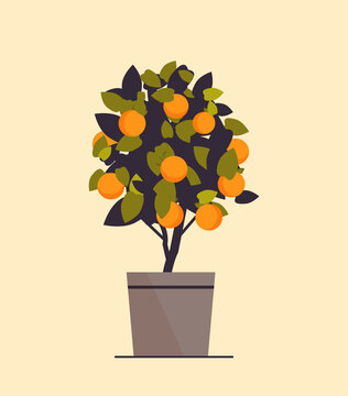 potted orange plant growing fruit tree in pot