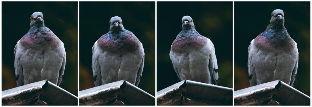 Feral pigeons set on dark background. Front view. City birds