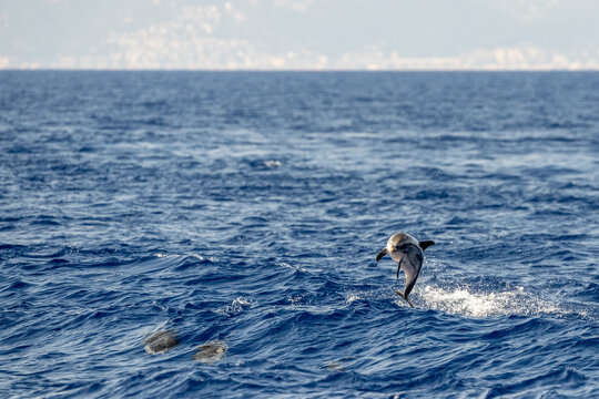striped Dolphin while jumping in the deep blue sea