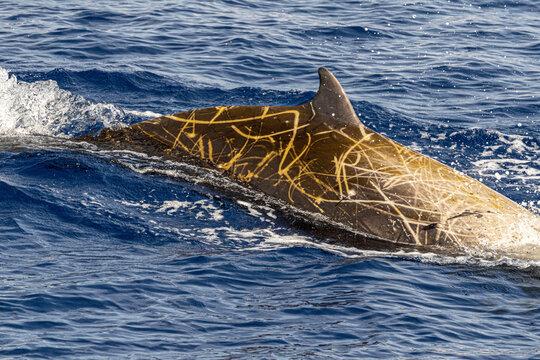 Rare Cuvier Goose Beaked whale dolphin Ziphius cavirostris