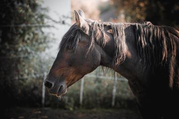 Fototapeta paard portret Pferdeporträt obraz