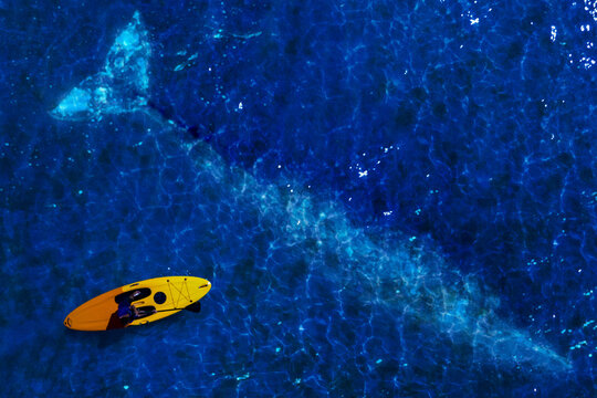 Grey whale swimming under canoe kayak aerial view