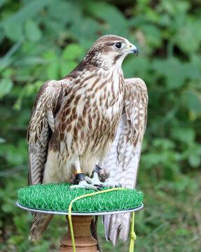 Adult Peregrine falcon a bird of prey