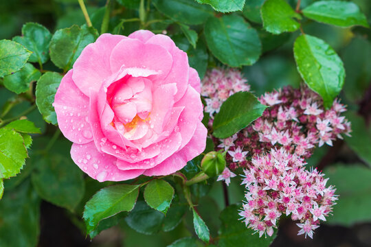 pink Rose Sommerwind mit Regentropfen