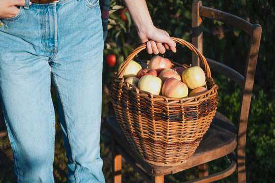 girl holds  basket  with juicy apples in the garden