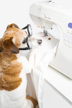 tailor at work in creative process of making clothes. Funny dog in glasses using sewing machine producing white textile shirt. View from back looking side. White vertical composition. Sewing hobby.