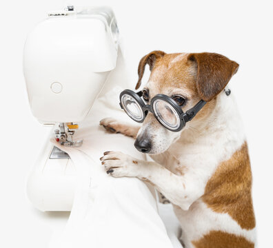 attentive dog Jack Russell terrier with glasses sews white T-shirt and uses sewing machine. Clothing designer tailor at work in  creative process of making clothes. White background square composition
