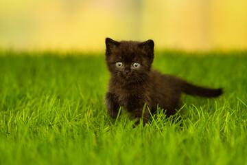 Fototapeta little fluffy black kitten  standing on green gra obraz