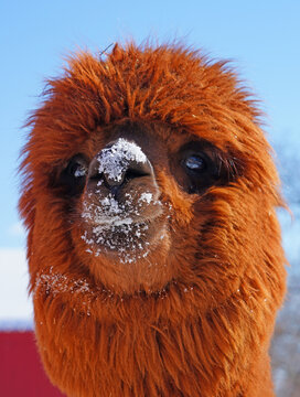 Portrait of a furry alpaca with snow on its face at a farm in New Jersey