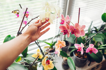 Woman enjoys orchid flowers on window sill. Girl taking care of home plants. Golden apple, Narnonne, Mountion blooming