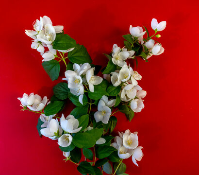 Beautiful white jasmine flowers, blooming jasmine twig