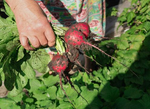 Eco Radish Harvest, Organic Vegetable Crop, Radish Picking