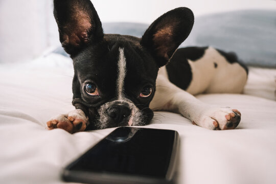 Curious French Bulldog puppy on bed with smartphone