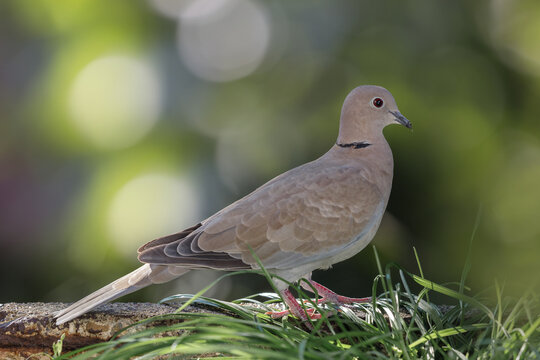 Eurasian collared dove (Streptopelia decaocto) standing  on green tree blurred background.