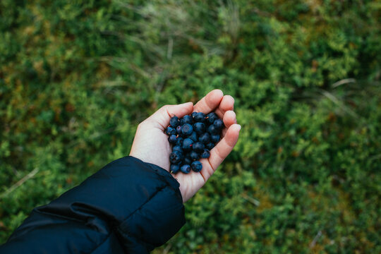 Woman hold a handful of wild blueberries. Freshly picked berries from mountain bush. Organic summer berry picking in Norway. Health benefits of wild berries