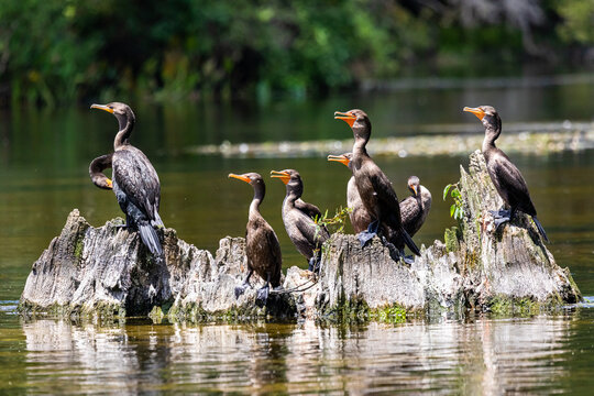 Double-Crested Cormorants on Cypress Knees