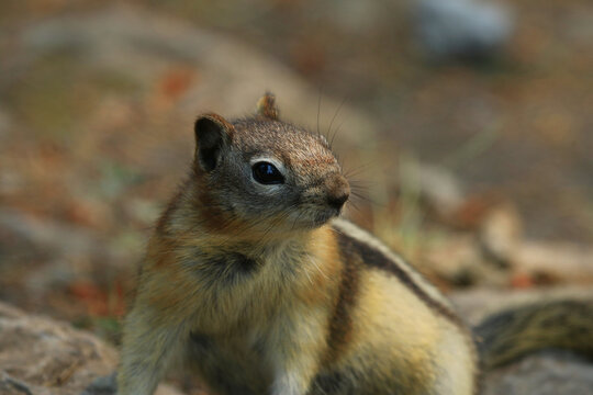 A Golden-mantled Ground Squirrel (Callospermophilus lateralis) foraging on the ground in Banff National Park, Alberta, Canada.