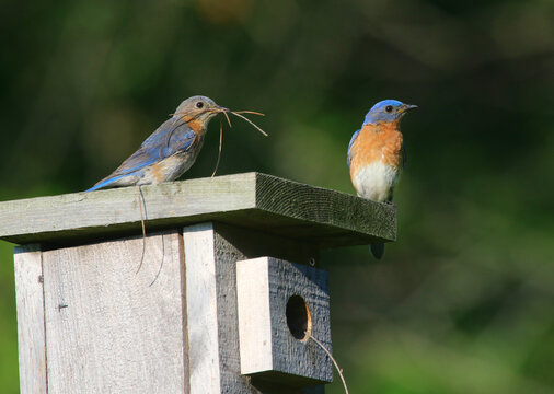 A pair of Eastern Bluebirds (Sialia sialis) building a nest in a bird house.  Shot in Waterloo, Ontario, Canada.