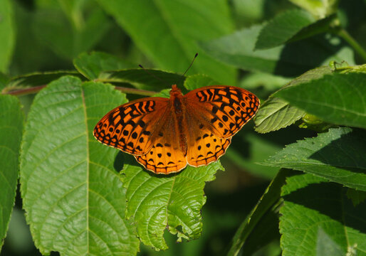 A male Great Spangled Fritillary (Speyeria cybele) sitting on a plant.  Shot in Waterloo, Ontario, Canada.
