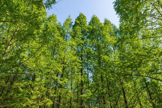 Green Metasequoia forest , kagawa, Shikoku, Japan