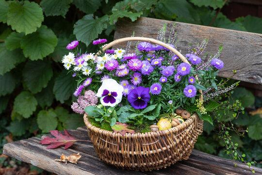 weiße und lila Stiefmütterchen und Astern im Korb im Garten