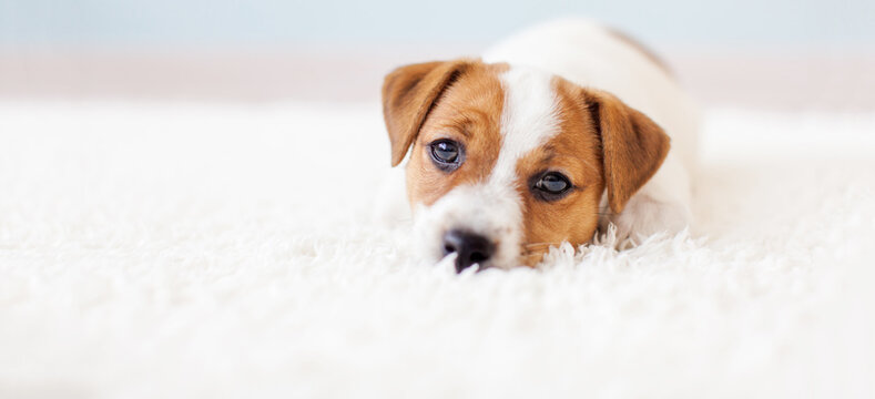 Cut puppy lying at home