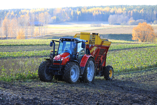 Tractor and harvester in field harvesting Sugar beet on a day of late autumn.