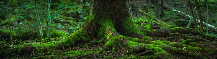 Fototapeta Wide panorama view of the roots of an old fir tree covered in green moss obraz