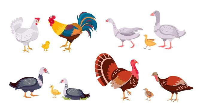 Farm poultry, domestic birds family, hen and rooster. Turkey with chick. Cartoon geese, ducks, duckling and chicken. Livestock vector set