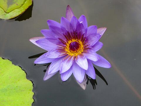 Lotusblume in Teich
