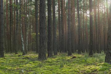 Fototapeta Sosnowy las w słoneczny dzień. obraz