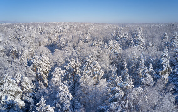 Aerial photo of forest under snow in winter season in Siberia.