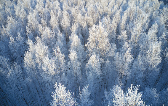 Aerial photo of birch forest in winter season. Drone shot of trees covered with hoarfrost and snow.