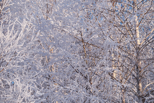 Frozen dense birch forest covered with frost and snow.