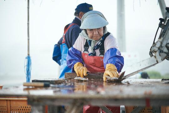 水揚げした帆立貝を洗浄選別する女性
