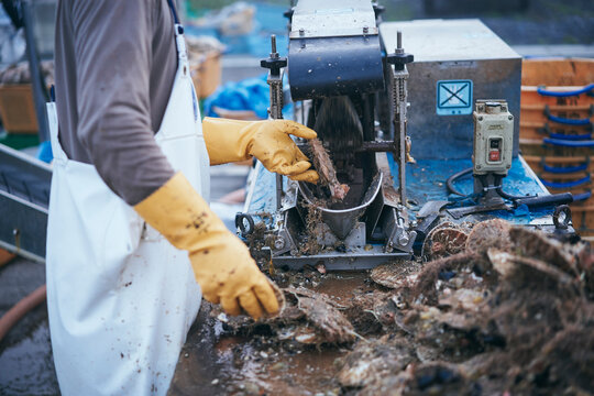 水揚げした帆立貝の洗浄作業