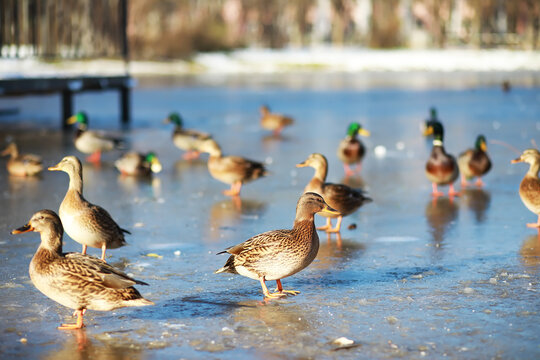 Ducks on the lake in winter, a flock of ducks is preparing to fly to warm countries, wild ducks winter on a warm pond, many birds on the pond