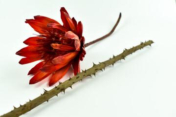 Gałązka róży z kolcami i czerwony kwiat.