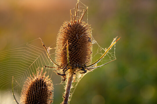 Dawn sunrise with silhouette of wild teasel flowers