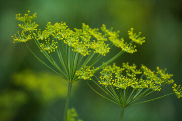 yellow fennel flowers against the background of green nature