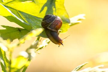 little brown snail on a green oak leaf