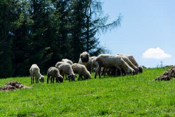 Owce barany na łące