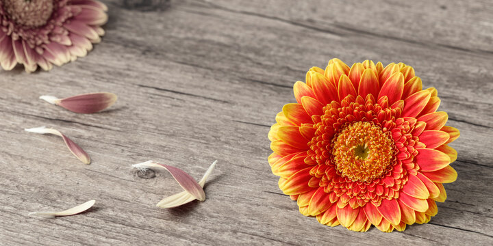 Single beautiful blooming orange yellow gerbera daisy flower isolated on vintage toned wooden background with petals. Floral banner border with copy space