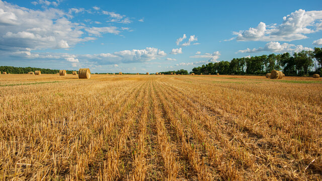 Agricultural wheat field after harvest.