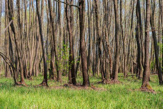 Alder tree trunks in a swampy area.