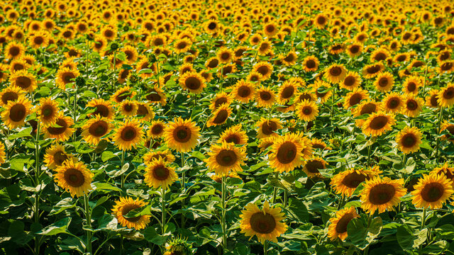 Field of blooming sunflower.