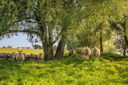 Sheep in the shade of a big tree on a hot day in the summer season. The photo was taken on the floodplains of the Dutch river Waal in the province of Gelderland.