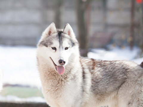 Siberian husky puppy on the street